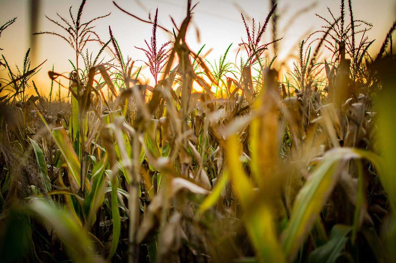 Produtor de Aparecida do Rio Negro/TO espera colher 110 sacas por hectare de milho e obter alta rentabilidade